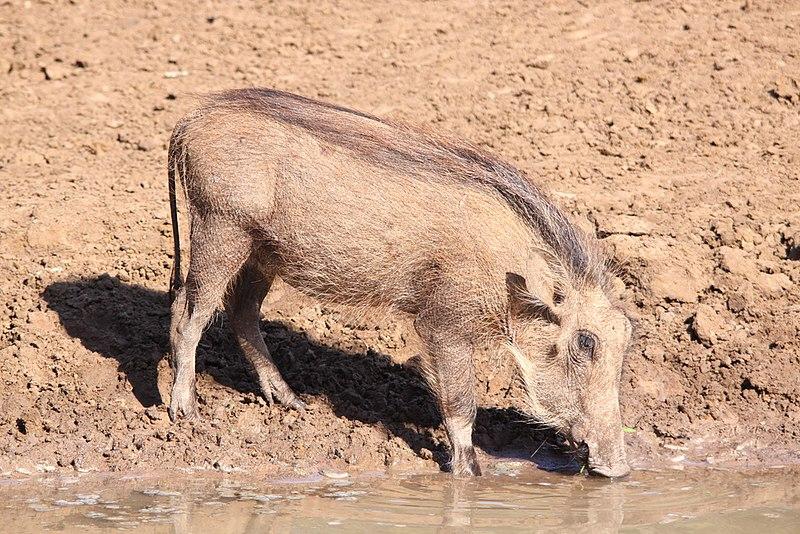 File:Warthog drinking (6073130851).jpg