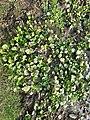 Water Hyacinths plant at Chunabhatti, Darbhanga, Bihar.jpg