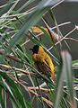 Weaver bird (8218625397).jpg