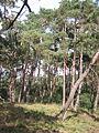 Wekeromse Zand Grove den (Pinus sylvestris).jpg