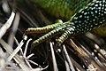 Western Green Lizard - Lacerta bilineata (16802607927).jpg
