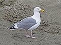 Western Gull, Western Washington State 01.jpg