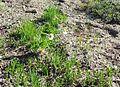 Western Pasque Flower - Flickr - brewbooks.jpg
