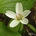 Western Spring Beauty (3818285930).jpg