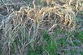 Westport, WA - grasses along trail 01.jpg