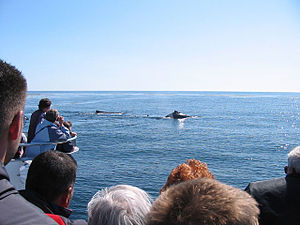 Photo from boat showing backs of heads of 8 people and two whales surfacing in background