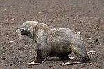 Whalers Bay Deception Island Antarctica Fur Seal 3 (47337241601).jpg