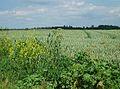 Wheat growing near Kenton - geograph.org.uk - 192096.jpg
