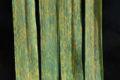 Wheat leaf rust on wheat.jpg