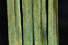Wheat leaf rust on wheat.jpg