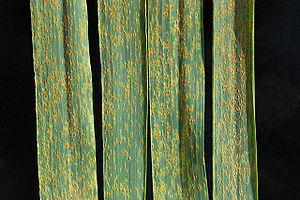 Puccinia - Image: Wheat leaf rust on wheat