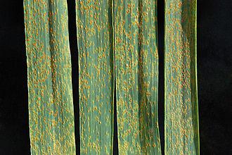 Wheat leaf rust - Symptoms of wheat leaf rust
