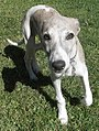 Whippet male brindle 4.jpg