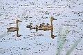 Whistiling Ducks with Ducklings. (26578516389).jpg