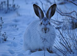 White-Tailed Jackrabbit on Seedskadee NWR (23062246299).jpg