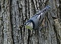 White-breasted Nuthatch (37663885441).jpg