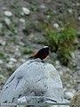 White-capped Redstart (Chaimarrornis leucocephalus) (15702410367).jpg