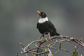 White-collared Blackbird - Eaglenest - India FJ0A9073 (34128372012).jpg
