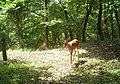 White-tailed deer (11798779303).jpg