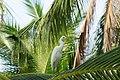 White Egret 02266.JPG