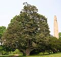 White Fir Tree in Walnut Hill Park, New Britain, CT - June 9, 2011.jpg