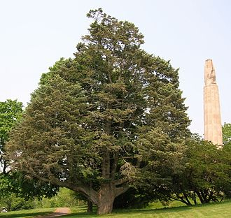 New Britain, Connecticut - White Fir Tree in Walnut Hill Park