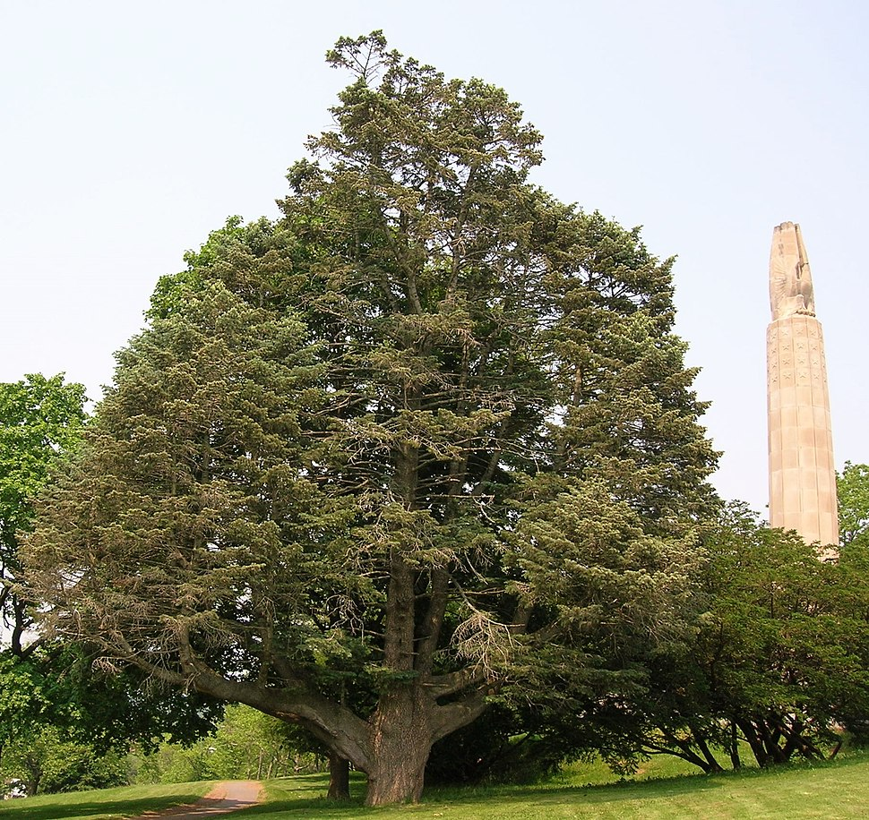 White Fir Tree in Walnut Hill Park, New Britain, CT - June 9, 2011