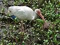 White Ibis (Eudocimus albus) (6972882654).jpg