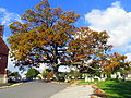 White Oak Tree Manchester, Maryland.jpg