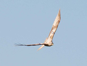 Red kite - Leucistic form