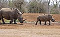 White Rhinos (Ceratotherium simum) female and young ... (31685975553).jpg