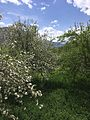 White mountain white flowers.jpg