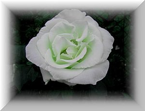 English: White rose