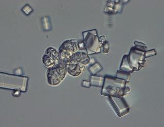 <i>Wallemia ichthyophaga</i> species of fungus