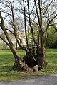 Wien-Hütteldorf - Naturdenkmal 200 - östliche Allee beim Europahaus - Detail.jpg