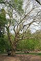 Wien-Penzing - Naturdenkmal 27 - Dehnepark - Ahornblättrige Platane (Platanus × hybrida) V.jpg