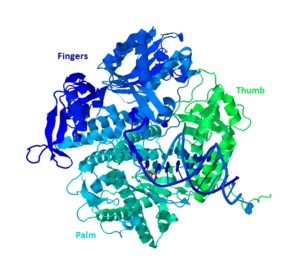 "DNA polymerase II - General ""Hand"" Structure of a Group B Polymerase (Based on PDB entry 3NCI)"