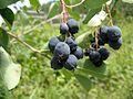 Wild Amelanchier alnifolia fruit.jpg
