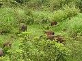 Wild Boar-1-mundanthurai-tirunelveli-India.jpg