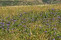 Wild Irises, Mendocino (34300942993).jpg