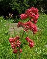 Wild flowers in Bradford Cathedral graveyard.jpg