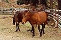 Wild horse of cape toi , 都井岬の野生馬 - panoramio - z tanuki.jpg