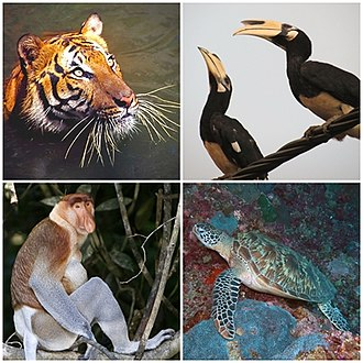 Native species in Malaysia, clockwise from top-right: oriental pied hornbills, hawksbill sea turtle, proboscis monkey, Malayan tiger. Wildlife of Malaysia.jpg