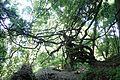 Wisteria sinensis kz1.jpg