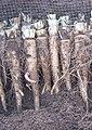 Witlof wortels kuil.jpg