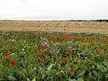 Wolds' Wild Flowers - geograph.org.uk - 551341.jpg