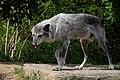 Wolf (228412431).jpeg