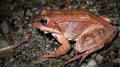 Wood Frog (Rana sylvatica) (6213333834).png