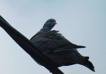 A Woodpigeon on a telephone line.