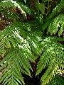 Woodwardia fimbriata 3.jpg